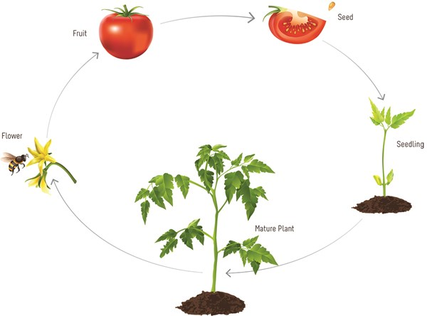 Plant Growth Cycle and Nutrition Requirement